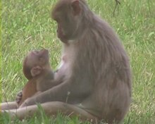 चित्र:Neonatal-Imitation-in-Rhesus-Macaques-pbio.0040302.sv003.ogv
