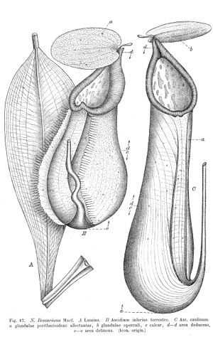 Nepenthes beccariana - Illustration of N. beccariana from Macfarlane's 1908 monograph
