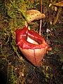 Nepenthes flava13.jpg