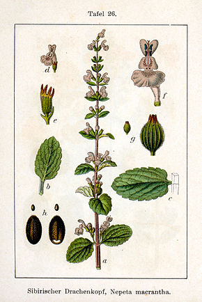 Description de l'image Nepeta sibirica Sturm26.jpg.