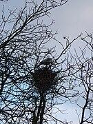 Nest Graureiher auf Baum.JPG