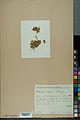 Neuchâtel Herbarium - Anthyllis cherleri - NEU000034016.jpg