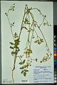 Neuchâtel Herbarium - Pastinaca sativa - NEU000088729.jpg
