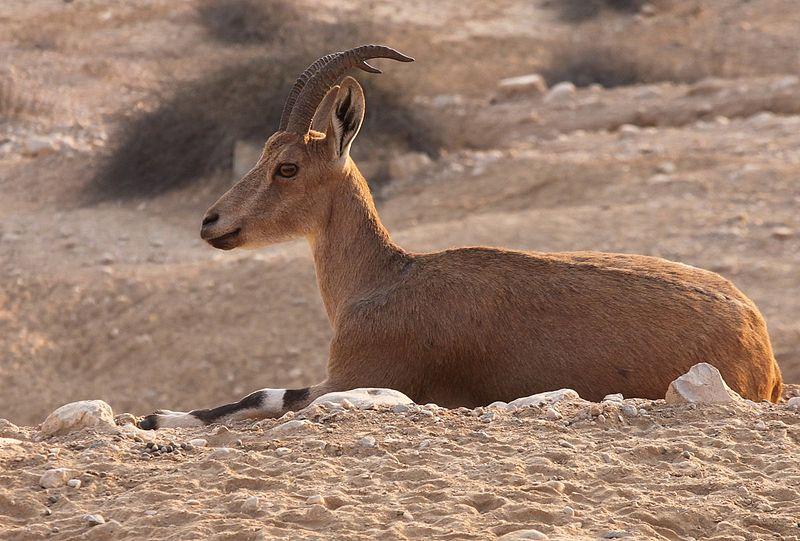 Nice female ibex Israel.JPG
