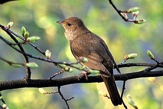 Thrush nightingale - At Uglich, Russia