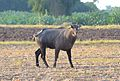 Nilgai at Little Rann.jpg
