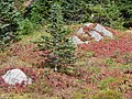 Nisqually Vista trail mid September 2015. (80e3daf036b44a96a374b752cd5becb1).JPG
