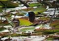 Nomonyx dominicus Pato enmascarado Masked Duck (female and male) (10761322203).jpg