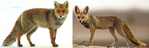 Bergmann's rule - Bergmann's rule illustrated by red foxes from northern and southern populations