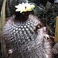 Notocactus scopa 2.jpg