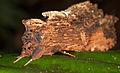 Notodontidae (15027610066).jpg