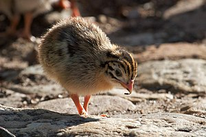 Helmeted guineafowl - Chick