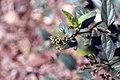 Nyctanthes arbor-tristis 8zz.jpg