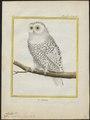 Nyctea nivea - 1700-1880 - Print - Iconographia Zoologica - Special Collections University of Amsterdam - UBA01 IZ18400013.tif