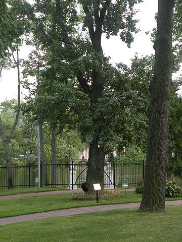 Дуб с могилы Дж. Вашингтона