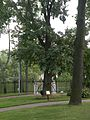 Oak from George Washingtun grave.jpg