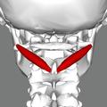 Obliquus capitis inferior muscle back closeup.png