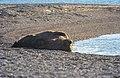 Odobenus rosmarus 07(js), SVALBARD.jpg