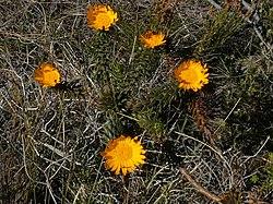 Oedera capensis Hanklip 01.jpg