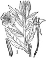 Oenothera biennis L. Common evening primrose.tiff