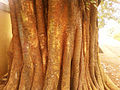 Old Peepal tree (Ficus religiosa) at Kummaripalem 01.jpg