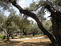 Olive trees in the traditional garden of Gethsemane (6409611759).jpg