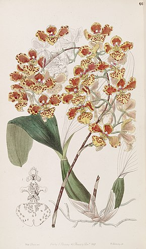 Description de l'image Oncidium amictum - Edwards vol 33 (NS 10) pl 66 (1847).jpg.