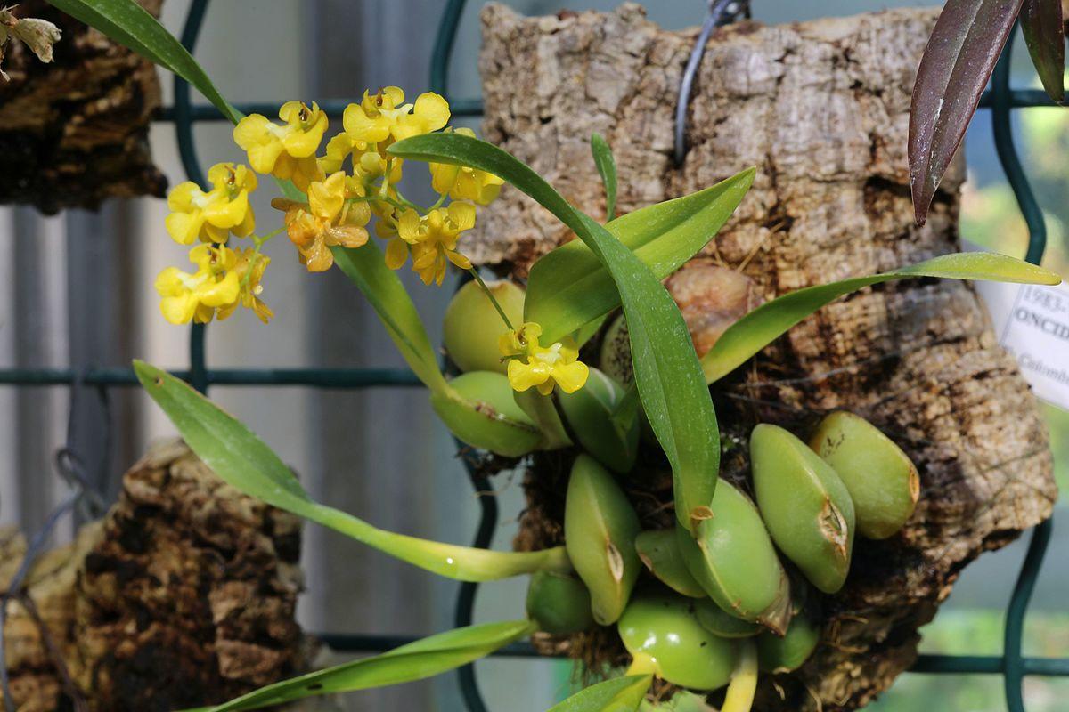 Risultati immagini per oncidium cheirophorum