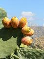 Opuntia ficus-indica fruits Crete 01.JPG