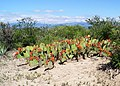 Opuntia stenopetala1.jpg