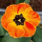 Orange flame tulip.jpg