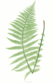 Oreopteris limbosperma Moore28.png