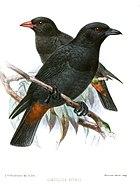 Картина двух черных птиц с красноватыми отверстиями, сидящих на ветвях;  у одного есть красный счет