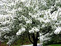 Ornamental cherry tree - Flickr - Muffet.jpg