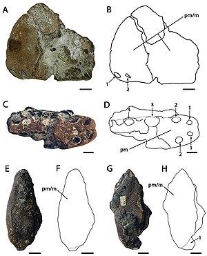 Ornithocheirus - Holotype of O. simus, CAMSM B54428, and referred specimen CAMSM B54552