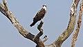 Osprey (5485345952).jpg