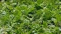 Ostrich Fern (Matteuccia struthiopteris) - Kitchener, Ontario 01.jpg