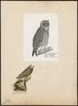 Otus brachyotus - 1809-1845 - Print - Iconographia Zoologica - Special Collections University of Amsterdam - UBA01 IZ18400193.tif