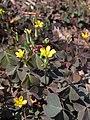 Oxalis corniculata, 2020-09-09, Beechview, 02.jpg