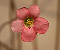 Oxalis tetraphylla D.jpg