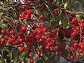 P20131102-0018—Heteromeles arbutifolia (10697709804).jpg
