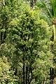 POHON CENGKEH - panoramio.jpg
