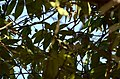 Pale-billed flowerpecker (Dicaeum erythrorhynchos) feeding on Muntingia calabura from karnataka JEG1770.jpg