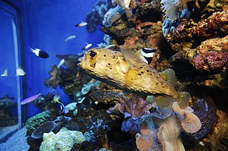 Lophodiodon calori - Image: Palma Aquarium Pez globo erizo