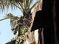 Palmeira, Bolama, Guiné-Bissau – 2018-03-02 – DSCN1060.jpg