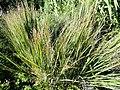 Panicum virgatum - J. C. Raulston Arboretum - DSC06207.JPG