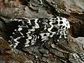 Panthea coenobita - Стрельчатка пятнистая (27226292018).jpg