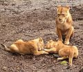 Panthera leo - Lion BZ ies.jpg