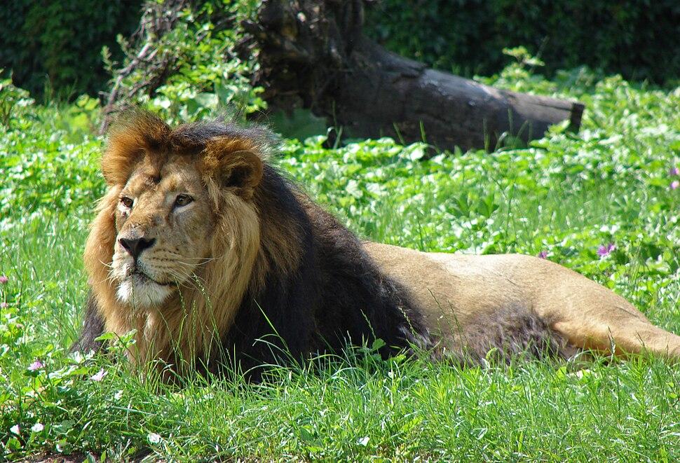 Panthera leo persica M