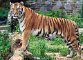 Panthera tigris tigris (cropped).jpg